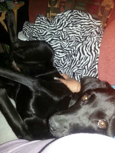 Black Lab on couch.