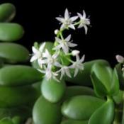Flowering Jade (Crassula)