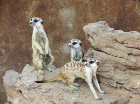 Meerkat family.