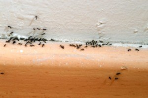 ants in house