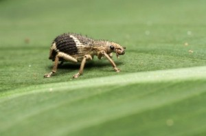 weevil on a leaf