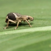 weevil on a leaf