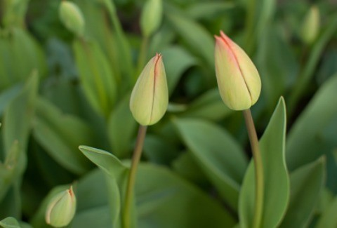 Tulips Not Blooming Thriftyfun