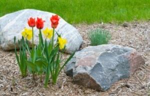 Mulching Tulips