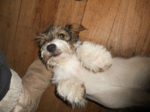 Jack Russel Terrier Mix