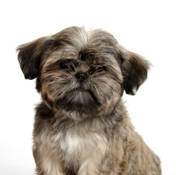 shih tzu temperament lively shih tzu breed information and photos thriftyfun 2055