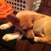 Tan puppy lying down.