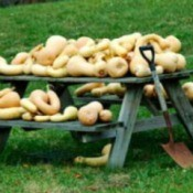 Gourd harvest on a picnic table.