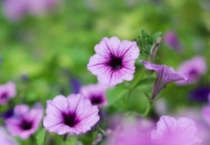 Growing Petunias