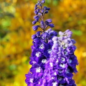 Growing Delphinium
