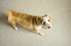 Dog Standing on Carpet