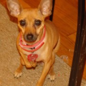 Tan dog on rug.