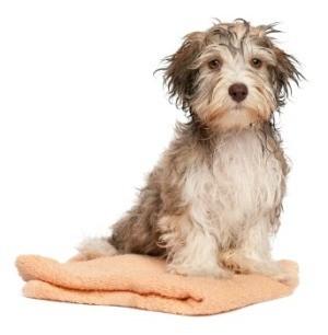 A dog after a bath.