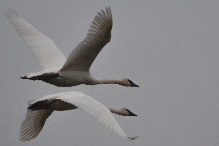 Double Decker Flight (Swans)