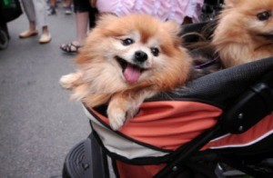 A baby stroller being used as a dog stroller.