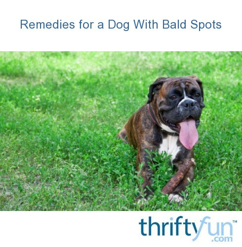Remedies For A Dog With Bald Spots Thriftyfun