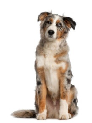 Australian Shepherd Breed Information and Photos