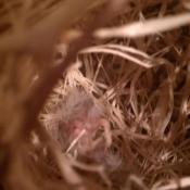 Finch nest.