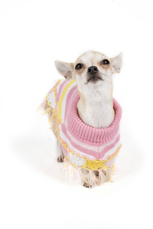 Chihuahua Breed Information And Photos Thriftyfun
