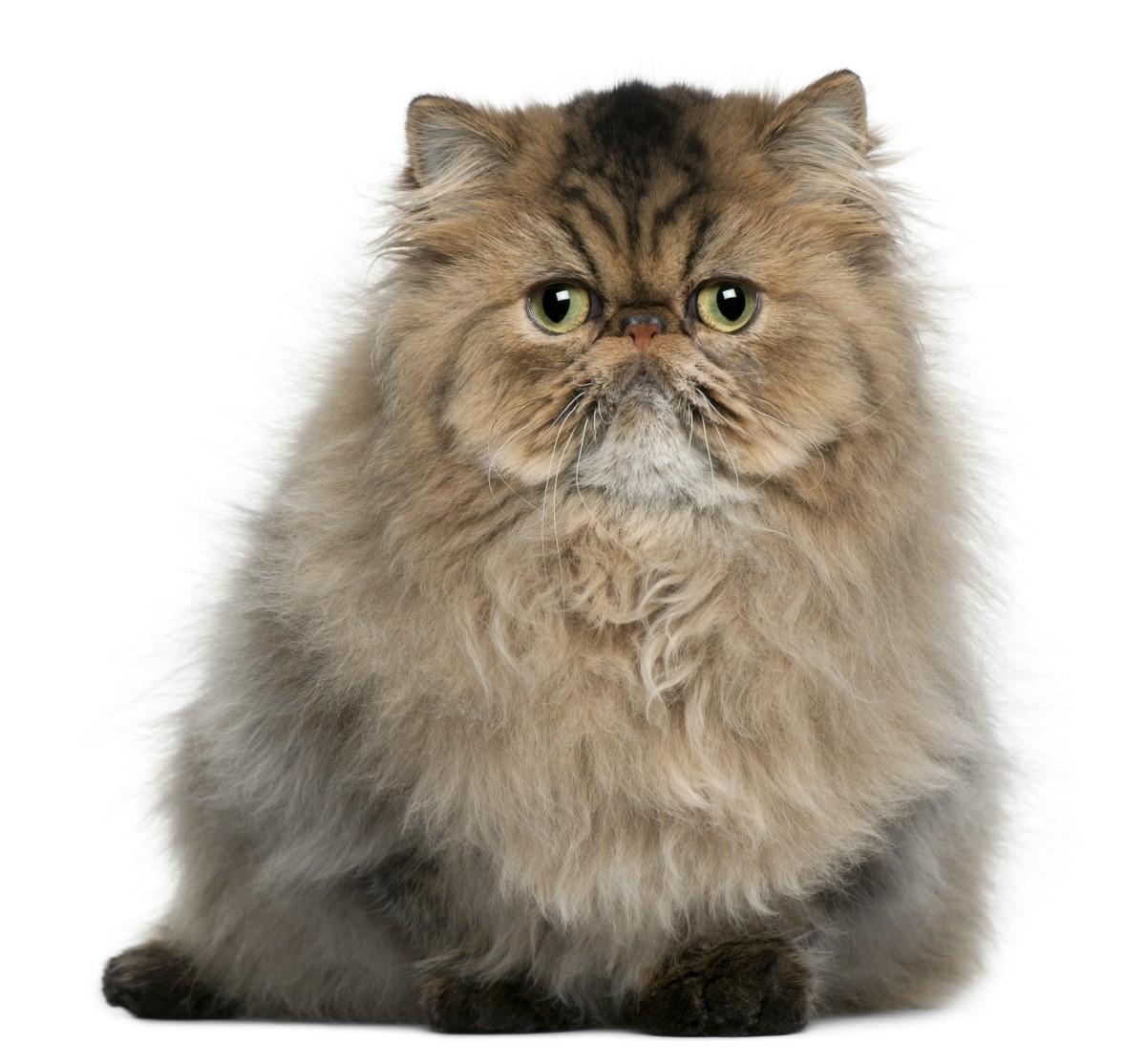 Persian Cat: Persian Cat Breed Information And Photos