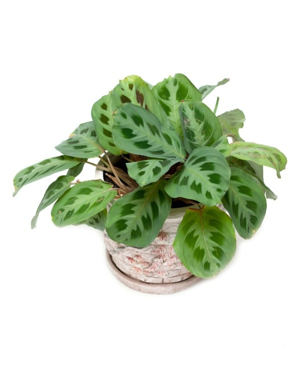 Growing marantas prayer plants thriftyfun for Small easy to grow plants