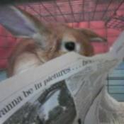 Little Bon (Half Lop Bunny)