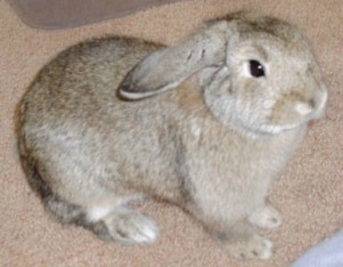 Snickers (Holland Lop)