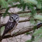 Owl (Braddock Bay Rapture Park, NY)