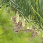 Growing New Veggies