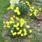 Clumps of daffodils.