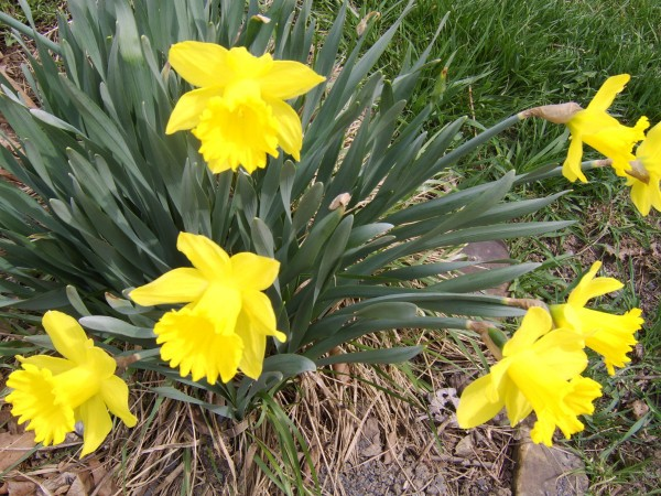 Close up of yellow daffodils.