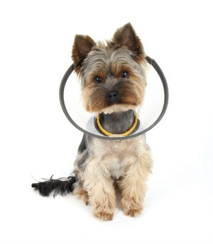 Injured dog wearing a dish.