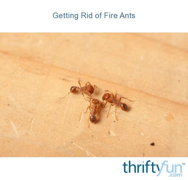 rid-of-piss-ants