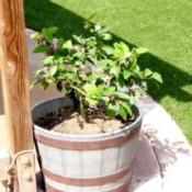 Lemon tree in half barrel.