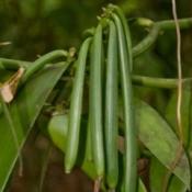 Vanilla beans growing.