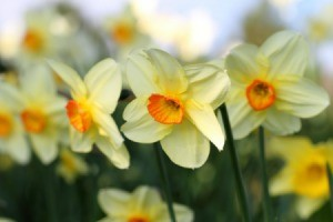 Yellow and Orange Daffodils