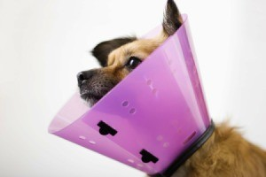 dog wearing a cone