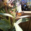 Butterfly in the Afternoon