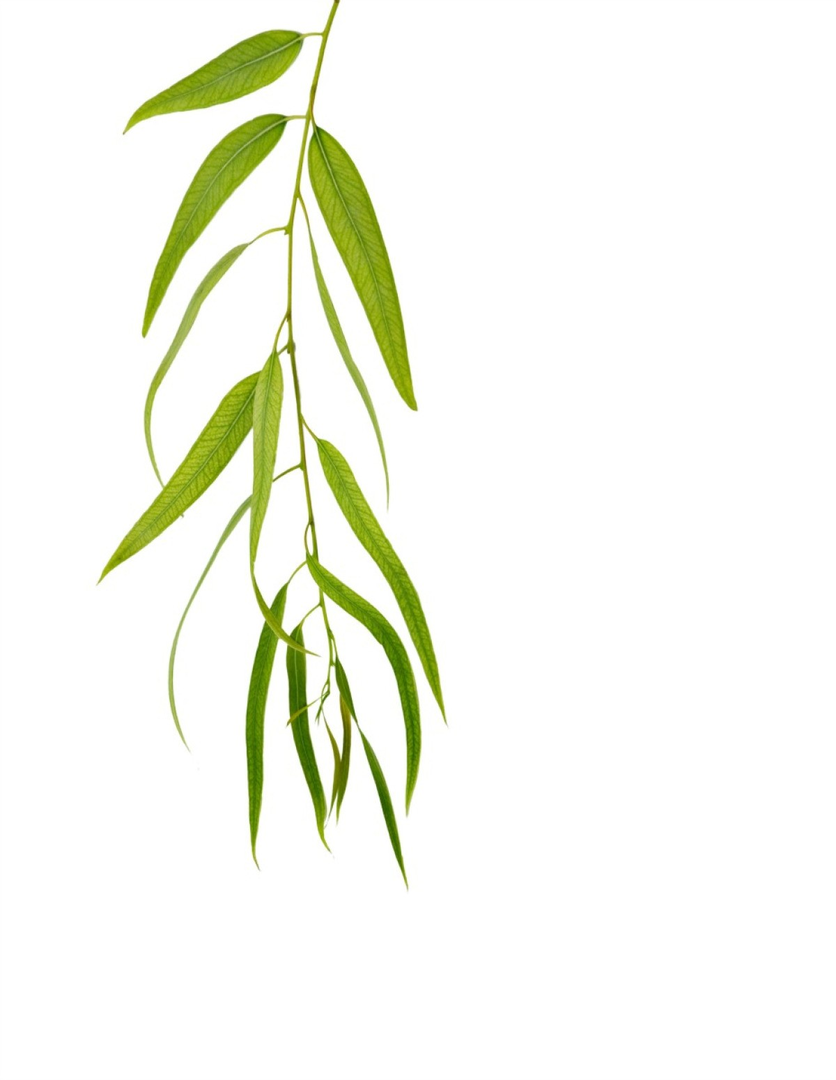 Preserving Eucalyptus Branches Thriftyfun