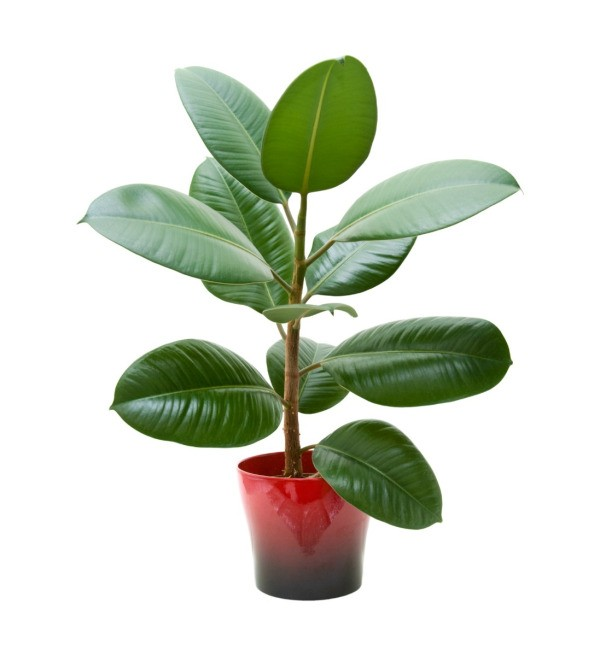 Growing A Rubber Tree Houseplant Thriftyfun