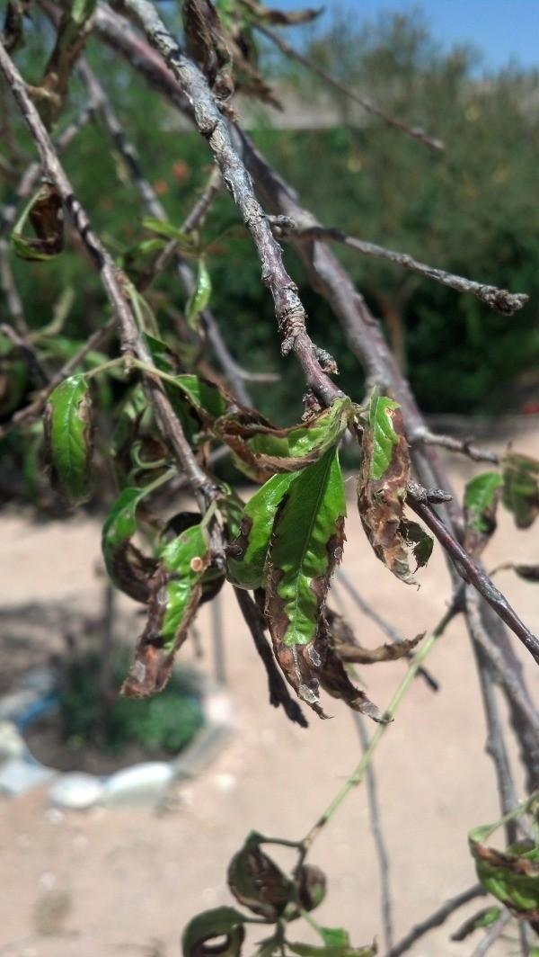 Diseased looking leaves.
