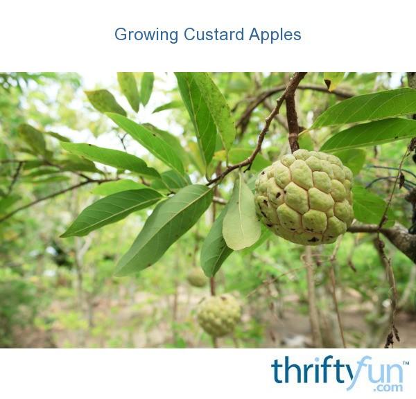 Growing Custard Apples Thriftyfun
