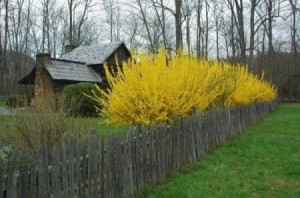 Forsythia Hedge