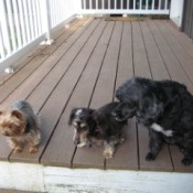 Three dogs on the deck.