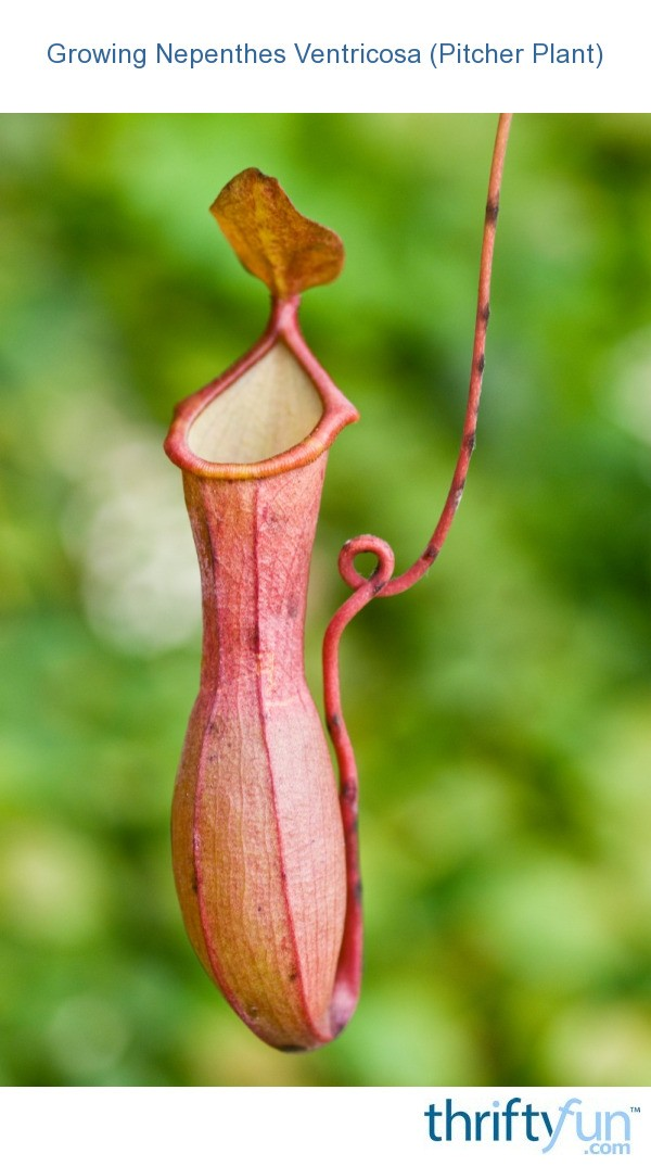 growing nepenthes ventricosa  pitcher plant