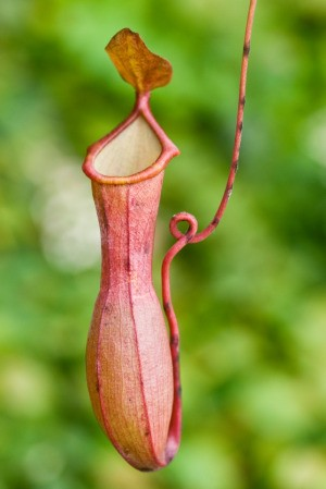 Nepenthes Ventricosa (Pitcher Plant)
