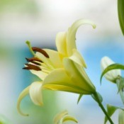 Growing Lilies