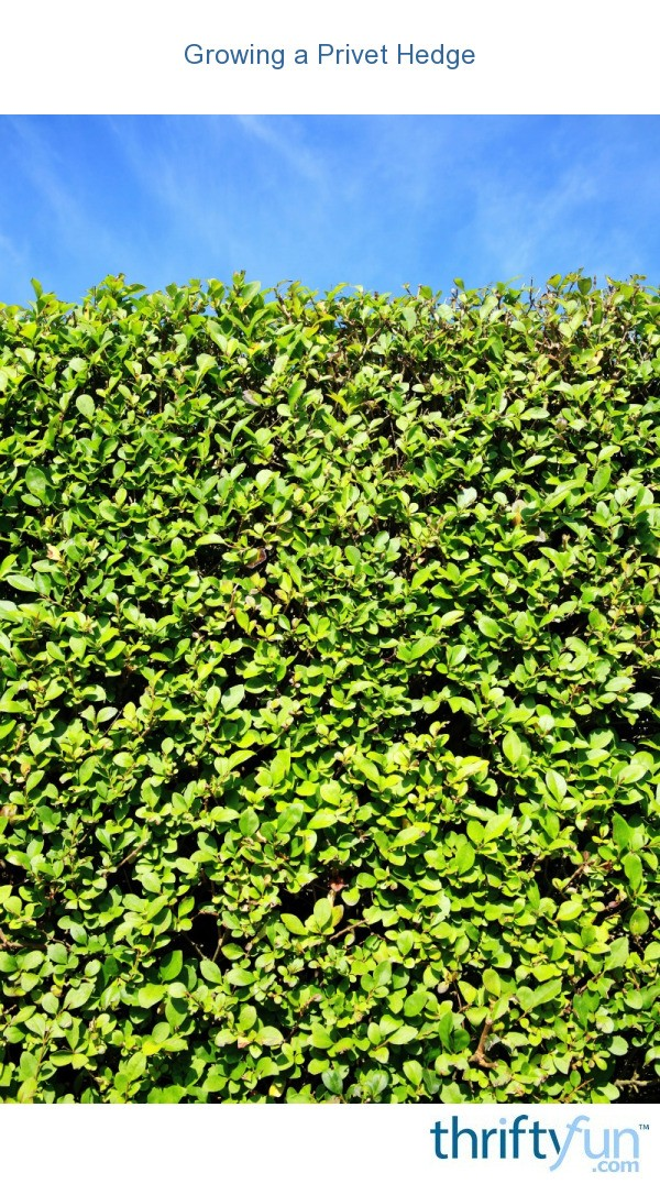 Growing A Privet Hedge Thriftyfun