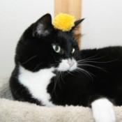 pom pom cat toy