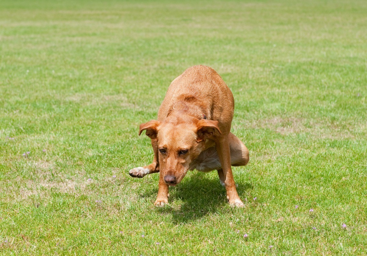 Fixing Grass Damaged By Dog Pee